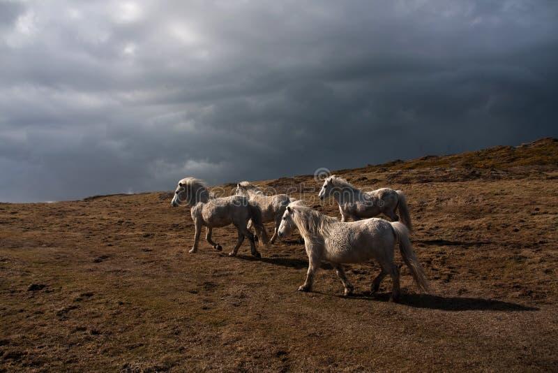 Potros galeses salvajes foto de archivo
