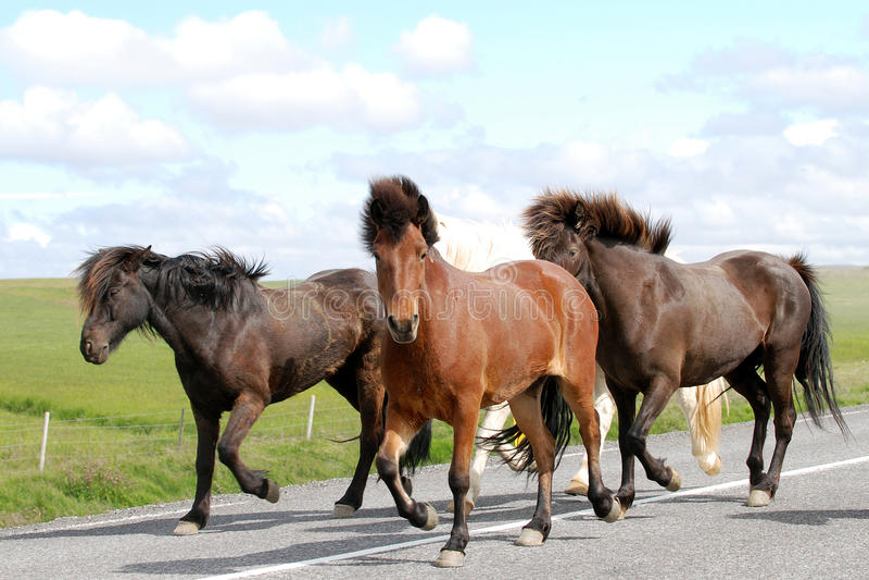 Potros salvajes criados puros de Islandia que son reunidos fotografía de archivo