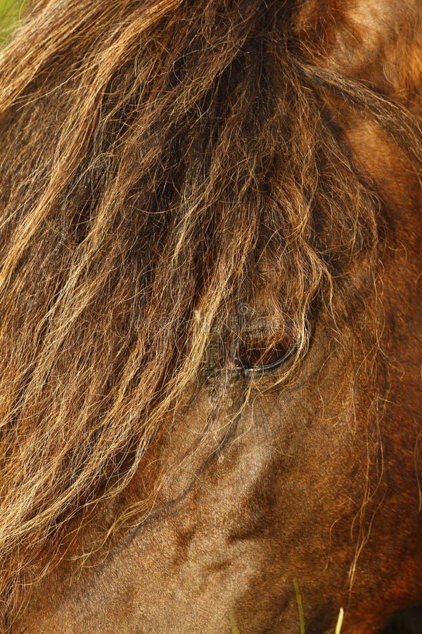 Potros semental y yegua de Dartmoor imagen de archivo libre de regalías