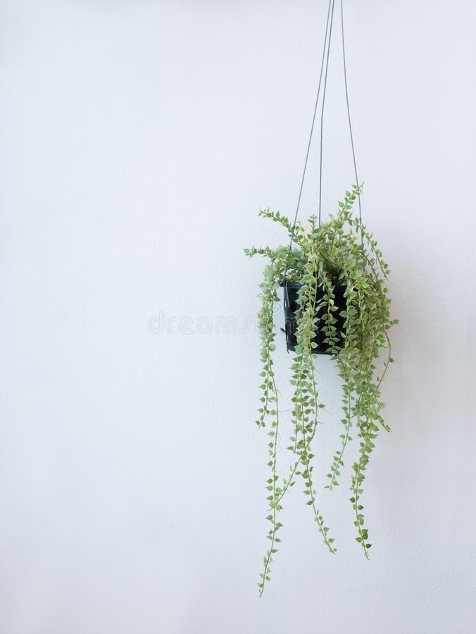 Pots accrochants avec des plantes grimpantes sur les murs blancs photo libre de droits