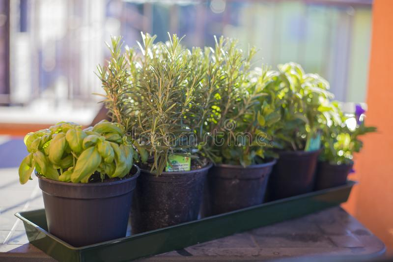Pots of aromatic plants on outdoor table. Some black pots in a row, containing aromatic plants typical of the mediterranean diet. Outdoor shot, morning light stock photography
