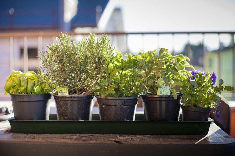 Pots of aromatic plants on outdoor table. Some black pots in a row, containing aromatic plants typical of the mediterranean diet. Outdoor shot, morning light royalty free stock photos