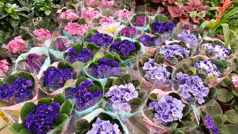 Pots with blooming violet flowers. Many species of violets on the market stock photos