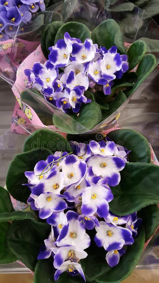 Pots with blooming violet flowers. Purple violets on the market royalty free stock image