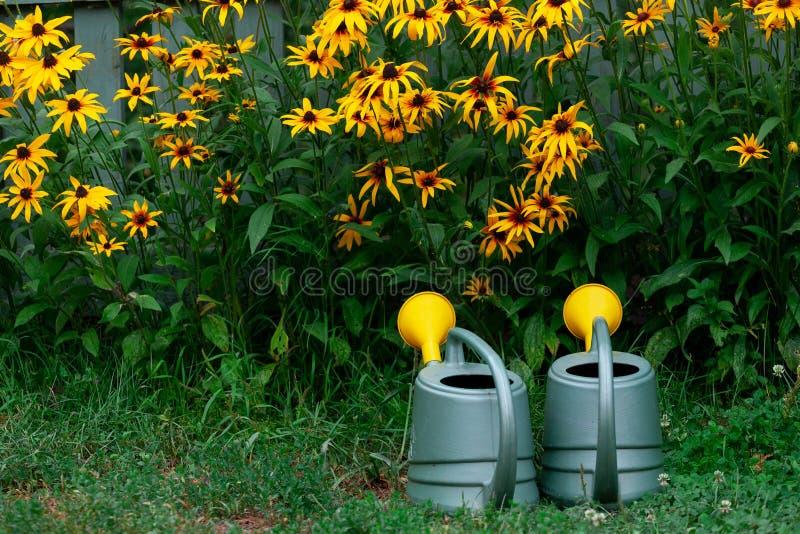 Pots d'arrosage près du parterre du rudbeckia jaune dans le jardin photo stock