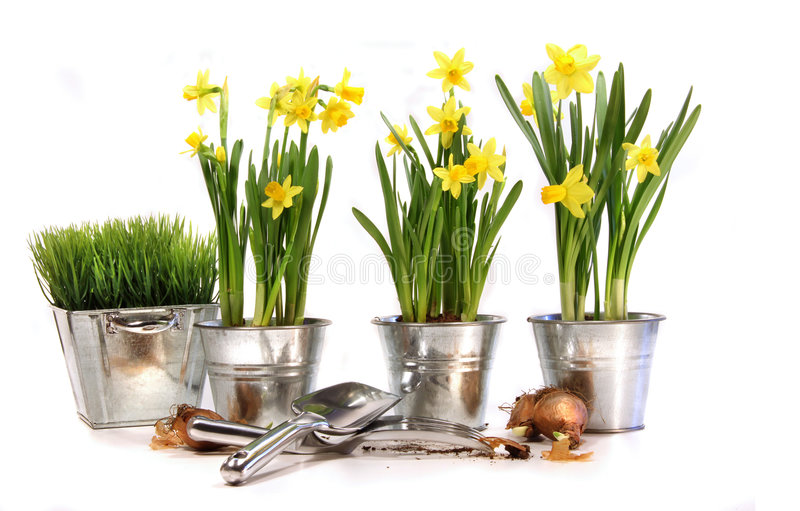 Pots of daffodils with garden tools on white royalty free stock photography