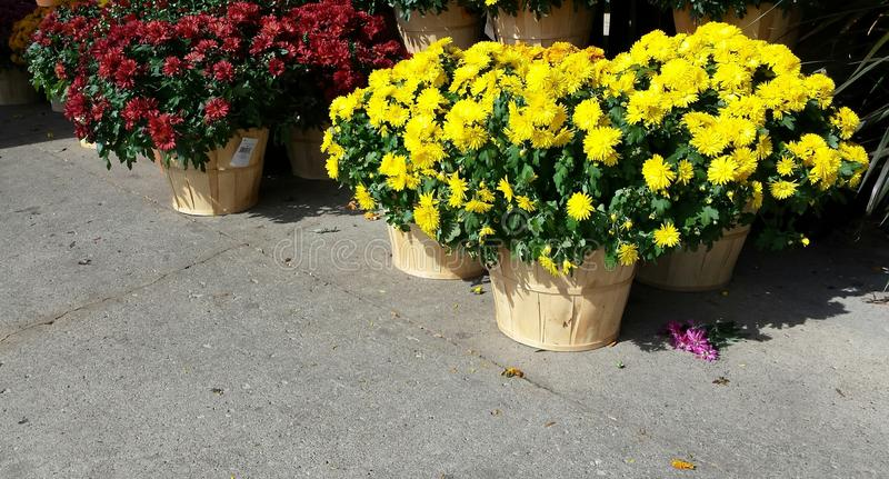 Pots of Mums royalty free stock photo