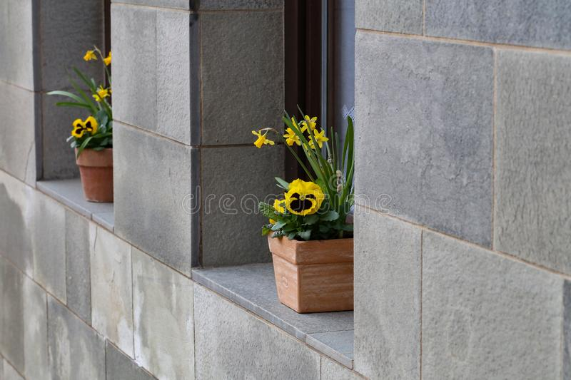 Pots with pansies stand on the windowsill stock image