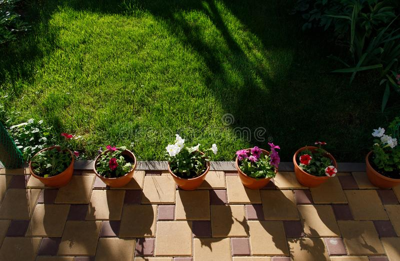 Pots with petunia flowers standing on the ground in home garden next to green grass lawn royalty free stock photography