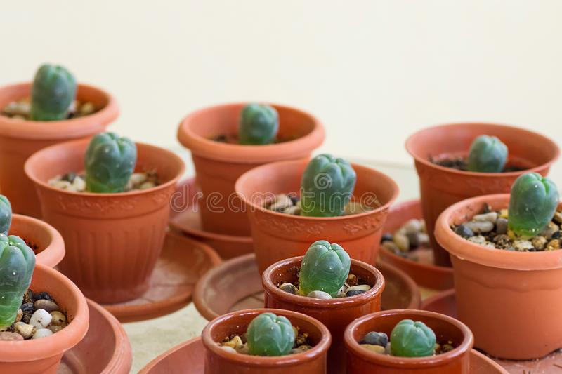 Pots with peyote cactus grown cultivated at home. Psychoactive curative medicinal plants concept stock photo
