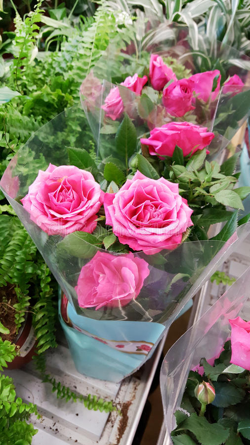 Pots with pink roses. Many species of roses on the flowers market royalty free stock images