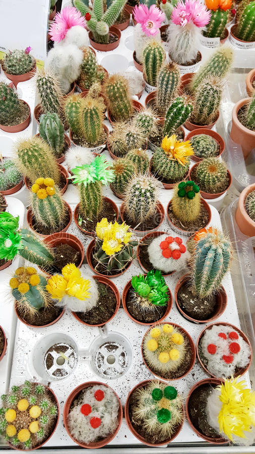 Pots with small blooming cacti .succulent plants. Many species of cactus on the market royalty free stock photography