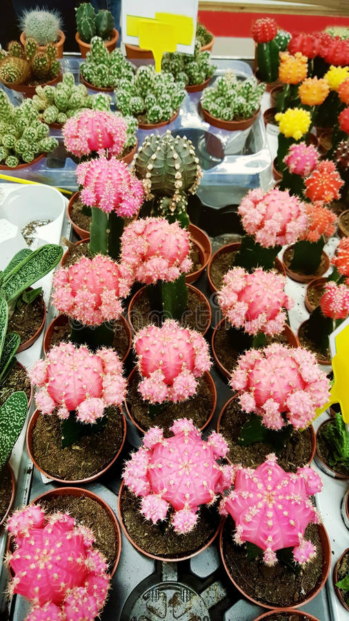 Pots with small blooming cacti .succulent plants. Red and yellow cactus on the market stock image