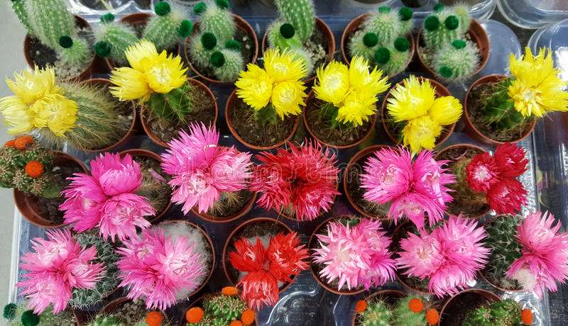 Pots with small blooming cacti .succulent plants. Red and yellow cactus on the market stock photo