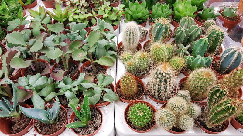 Pots with small cacti .succulent plants. Green cactus plants on the market stock photos