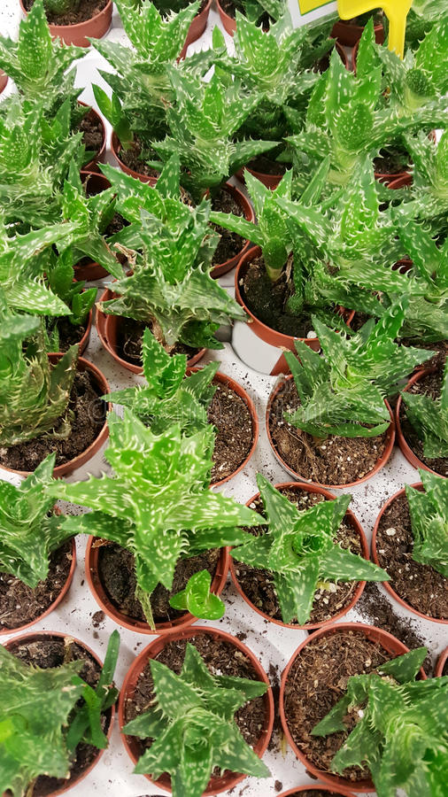 Pots with small cacti .succulent plants. Green cactus plants on the market stock photography