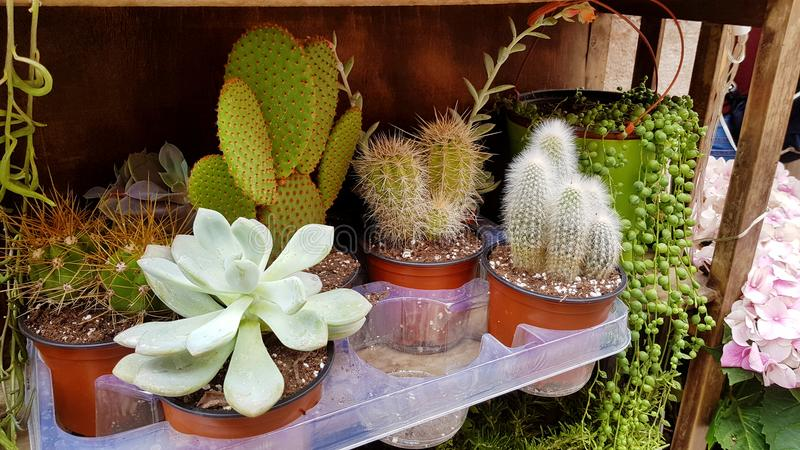 Pots with small cacti .succulent plants. Green cactus plants on the market stock image