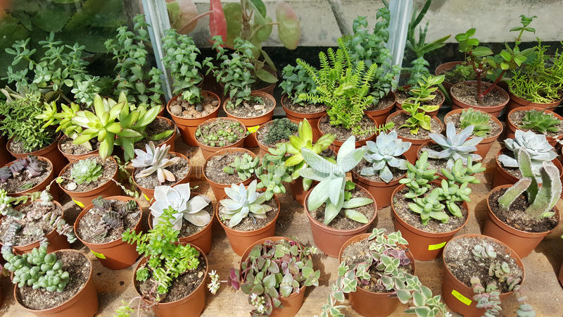 Pots with small green cacti .succulent plants. Many species of cactus in hothouse . Botanical Garden in Sofia,Bulgaria stock photo