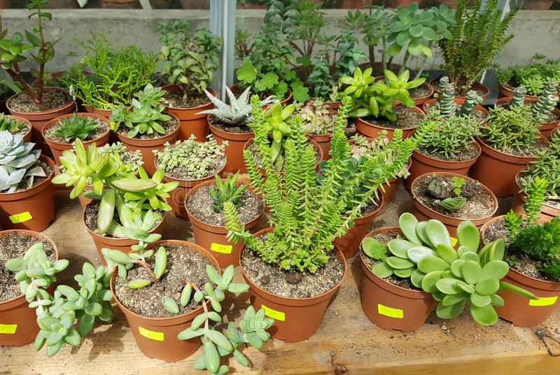 Pots with small green cacti .succulent plants. Many species of cactus in hothouse . Botanical Garden in Sofia,Bulgaria stock photography