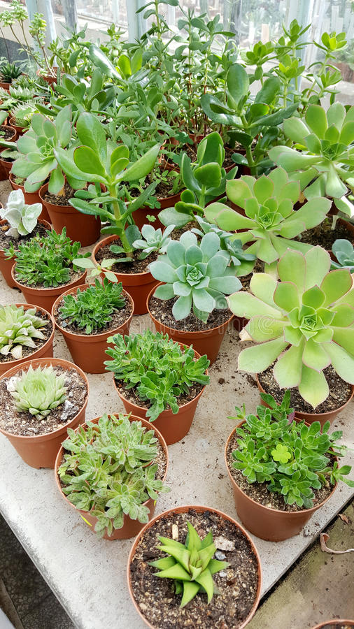 Pots with small green cacti .succulent plants. Many species of cactus in hothouse . Botanical Garden in Sofia,Bulgaria royalty free stock image