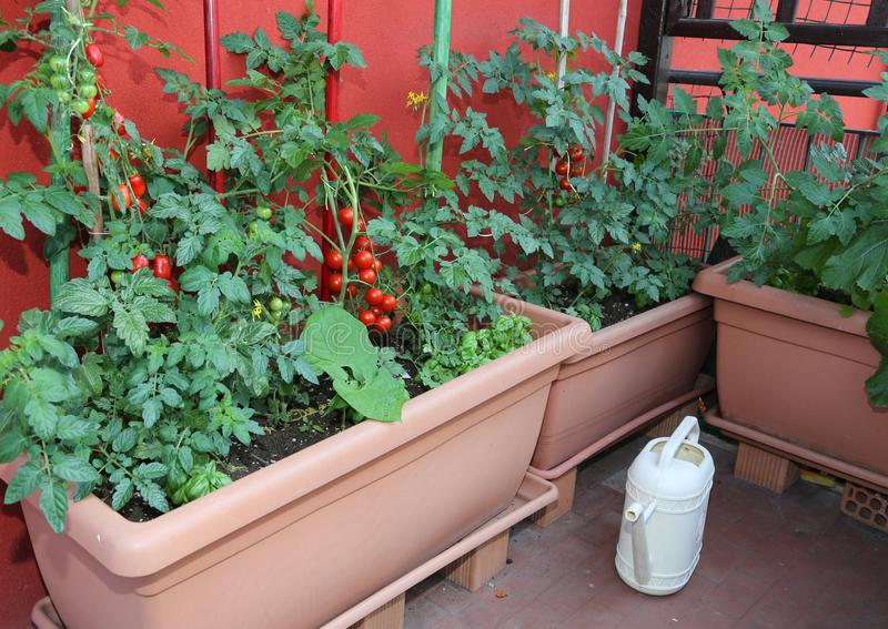 Pots with tomato plants and a yellow watering can on the terrace royalty free stock image