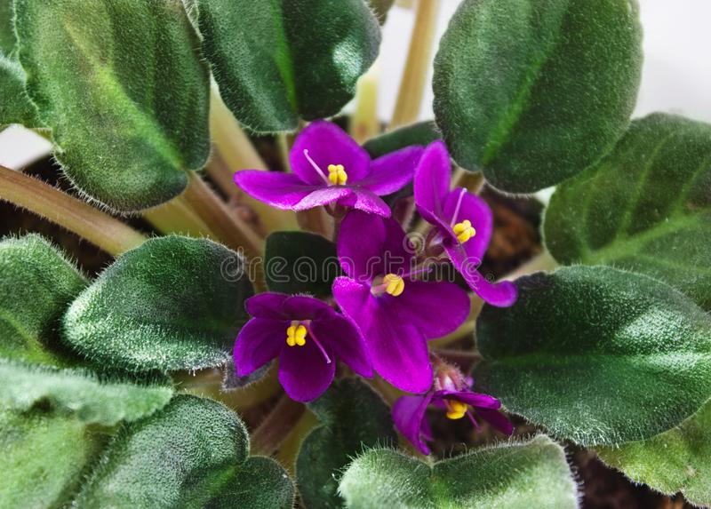 Potted African Violet Saintpaulia. stock photo