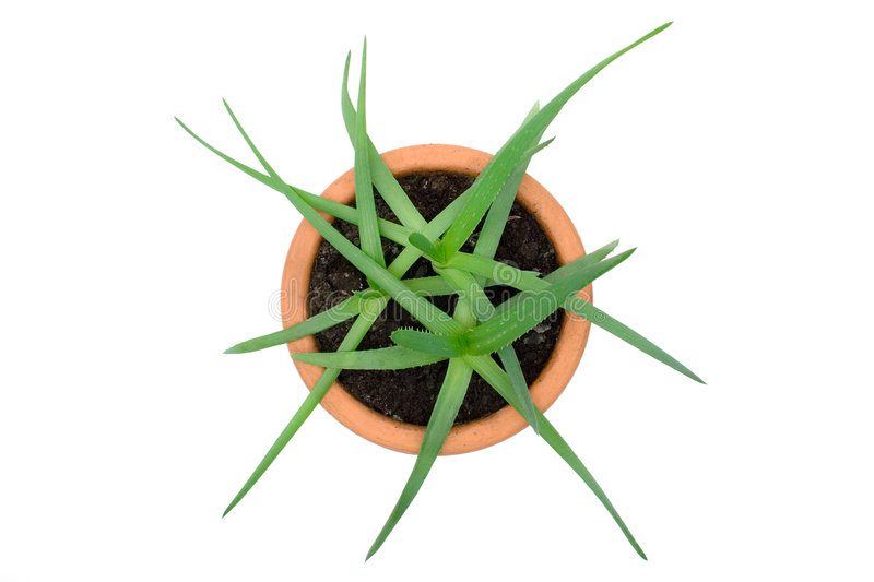 Download Potted Aloe Vera stock photo. Image of flower, decorations - 2694680