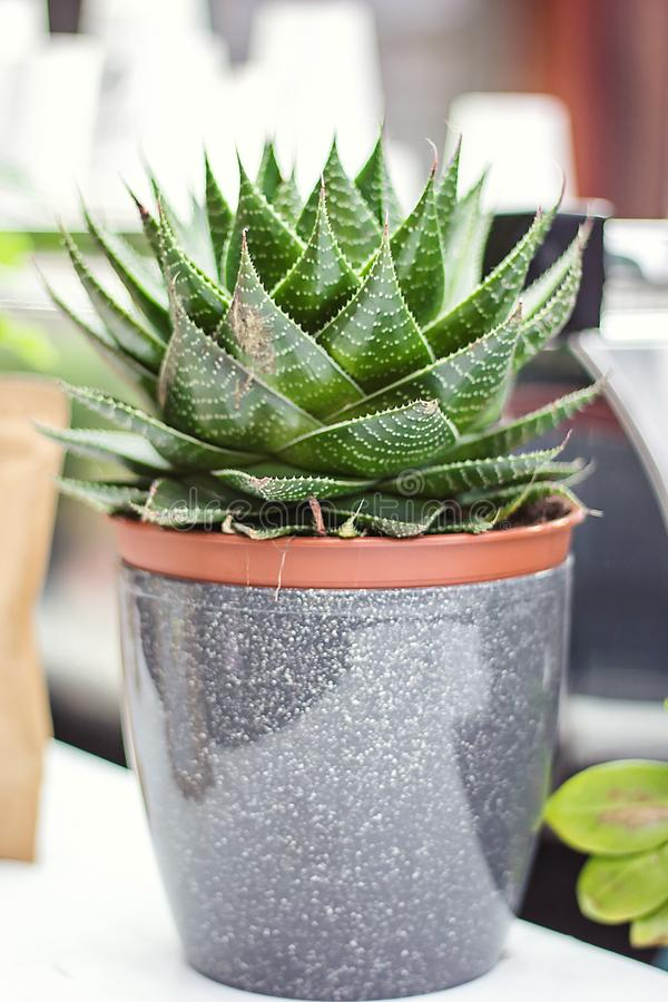 Potted Aloe Vera Plant on wooden table. Aloe vera leaves tropical green plants tolerate hot weather closeup selectiv focus Urban g royalty free stock photo