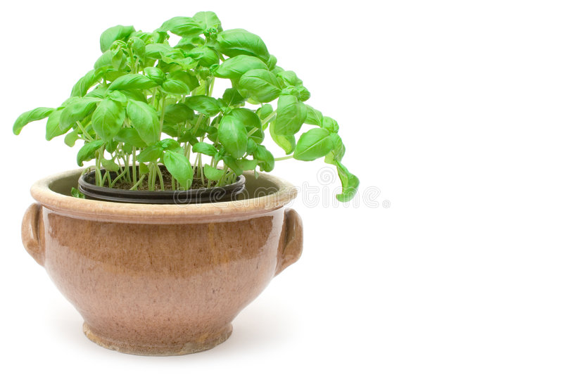 Download Potted Basil stock image. Image of closeup, aroma, condiment - 2429833