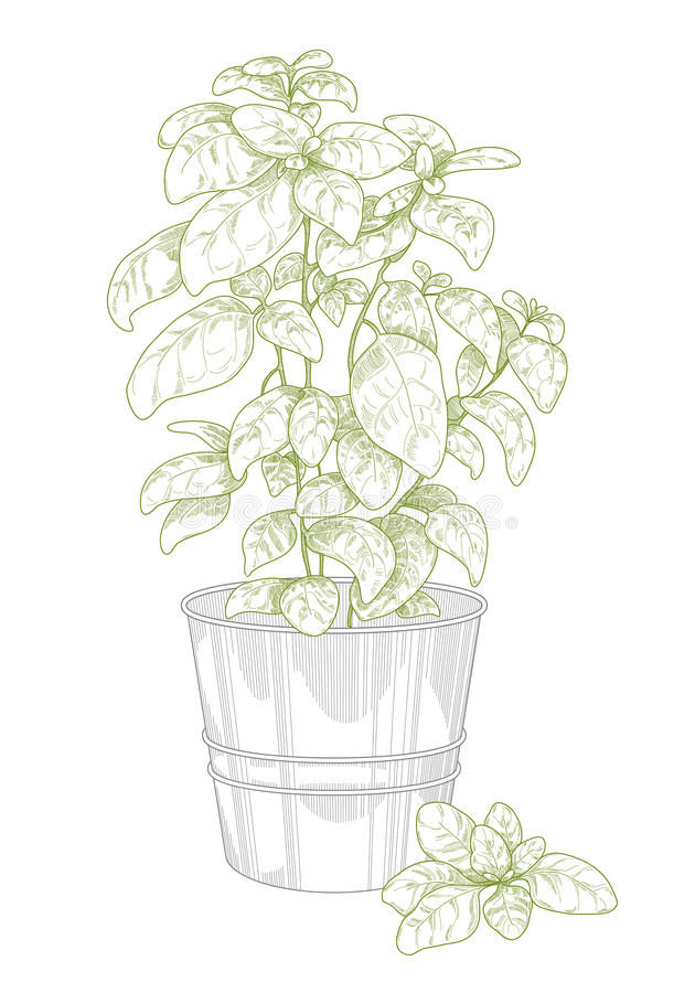Download Potted basil stock vector. Image of lineart, leaf, pencil - 31003265