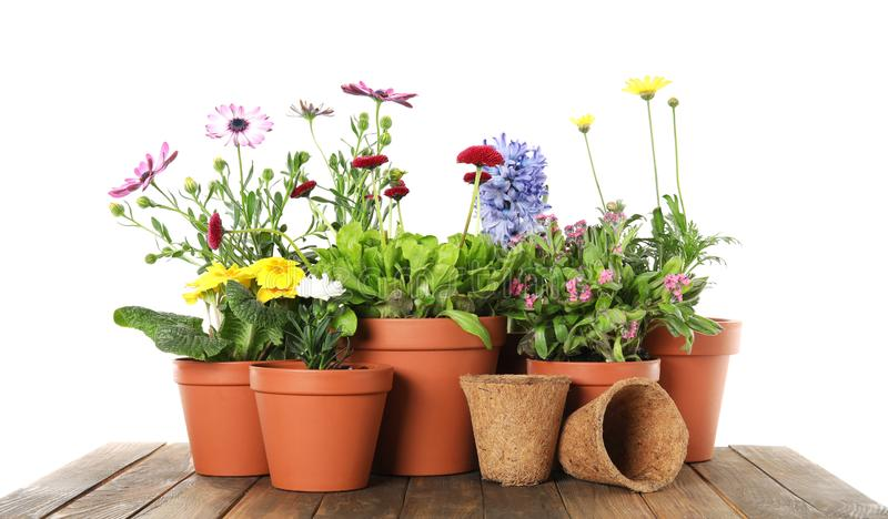 Potted blooming flowers and gardening equipment on wooden table. Against white background stock photo