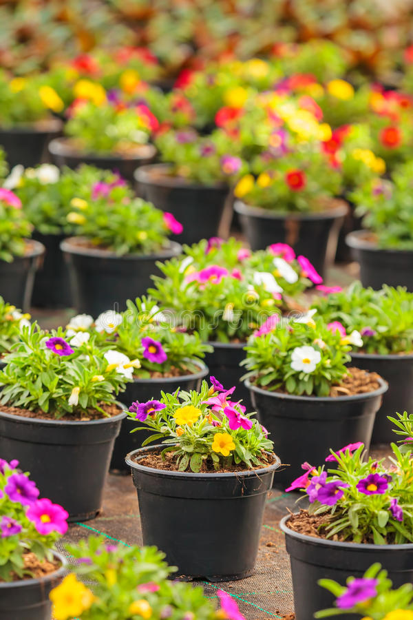 Potted blooming violas in a greenhouse. Potted blooming violas with different colors in a Dutch greenhouse stock photos
