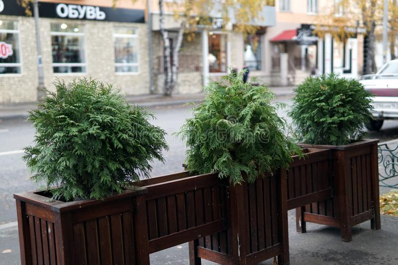 Potted bushes of asparagus fern at some street cafe. Potted bushes of asparagus fern at some city street cafe royalty free stock image
