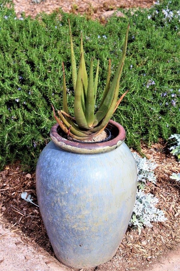 Desert Botanical Garden Phoenix, Arizona,United States. Potted cactus at the Desert Botanical Garden during the winter located in Phoenix, Arizona, United States stock images