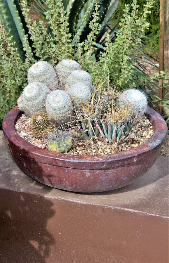 Desert Botanical Garden Phoenix, Arizona,United States. Potted cactus at the Desert Botanical Garden during the winter located in Phoenix, Arizona, United States royalty free stock photo