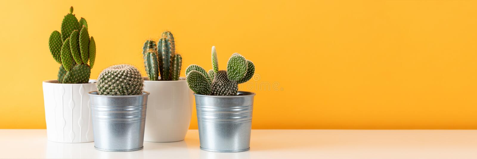 Potted cactus house plants on white shelf against pastel mustard colored wall. Cactus plants banner. Collection of various cactus plants in different pots royalty free stock photos