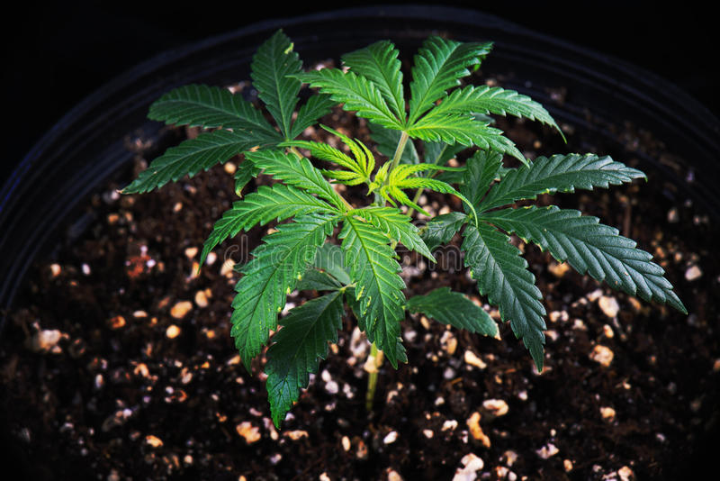 Potted cannabis plant Green Crack strain growing in soil mediu. Small potted cannabis plant Green Crack strain around 4 weeks old growing in soil medium stock image