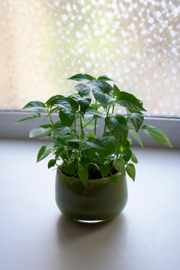 Potted chili pepper seedlings in home interior. Chili pepper seedlings in green glass pot in home interior stock image
