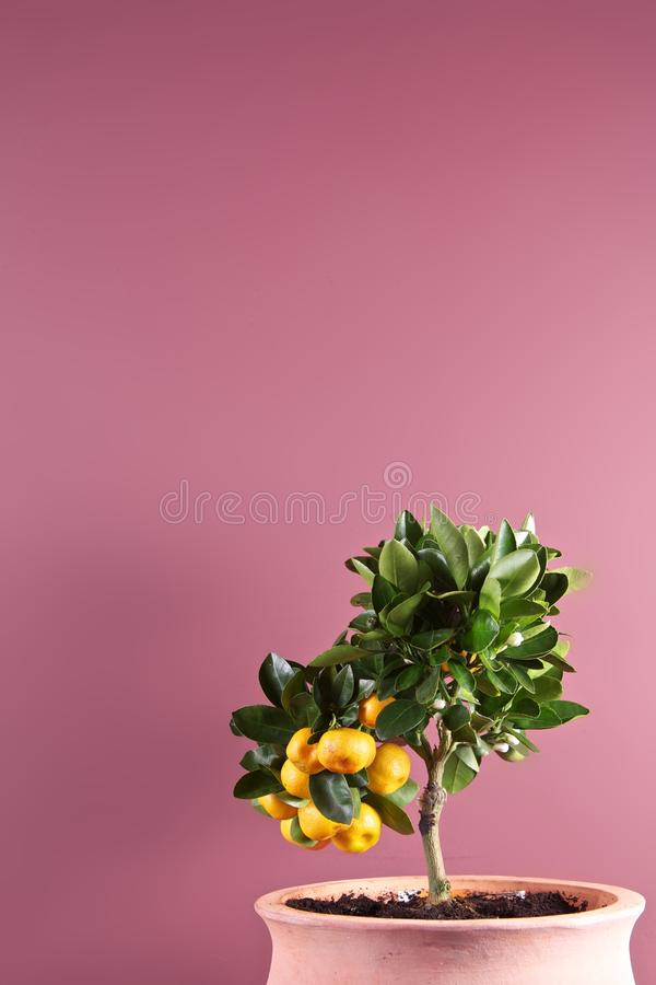 Potted citrus tree with fruit royalty free stock photos