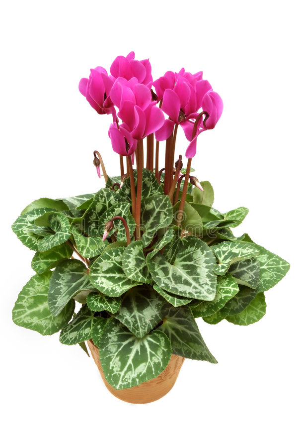 Potted Cyclamen Stock Photos