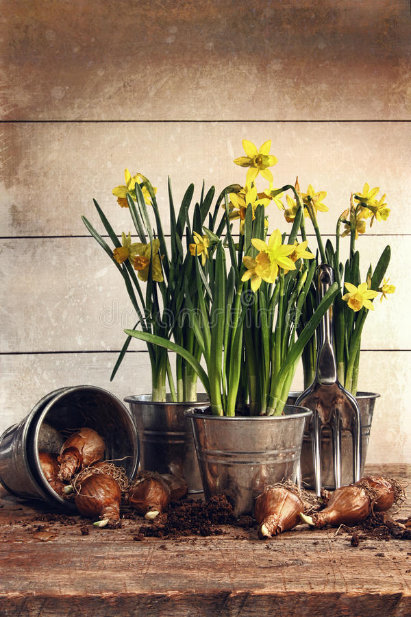 Potted Daffodils Wirh Bulbs For Planting Stock Photo