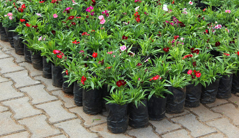 Potted Flower Plants Royalty Free Stock Photo
