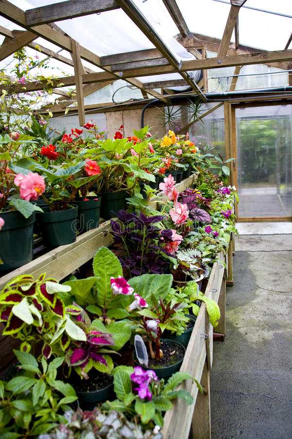 Potted Flowers In Greenhouse Royalty Free Stock Photography