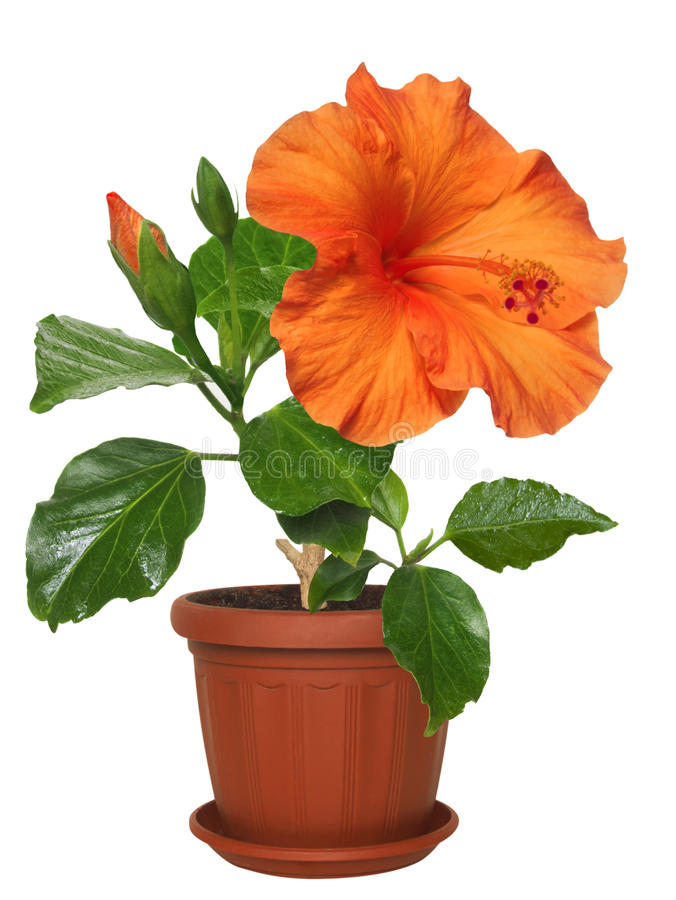 Free Potted Flowers Hibiscus Stock Photos - 54780553