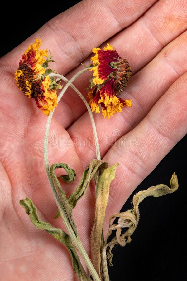 Potted flowers from the home garden on the palm of your hand. Colorful dried beautiful flowers. Dark background, bloom, blossom, closeup, concept, day, female stock image