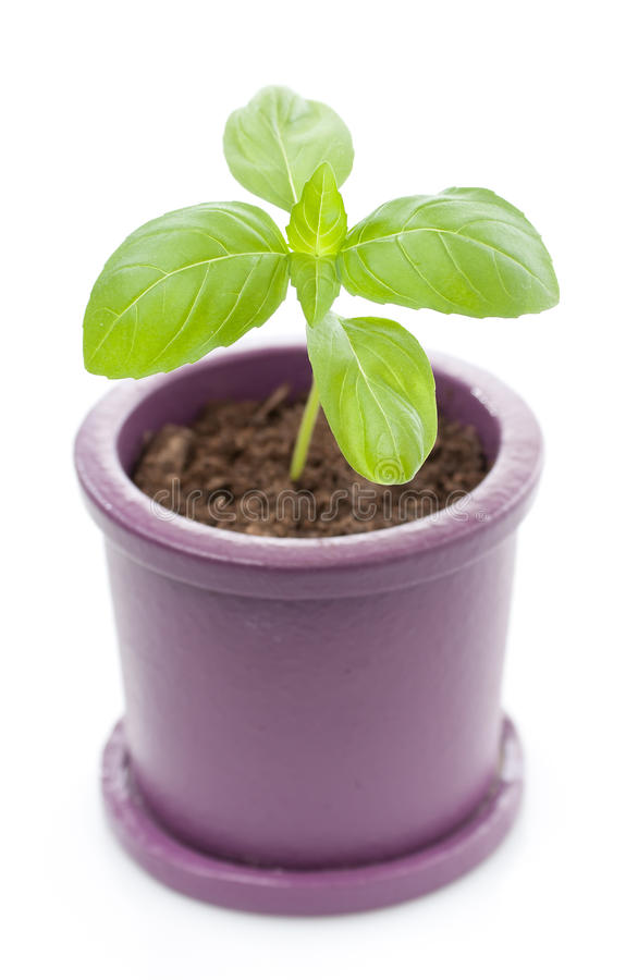 Potted fresh basil plant. A potted plant just beginning to grow stock images