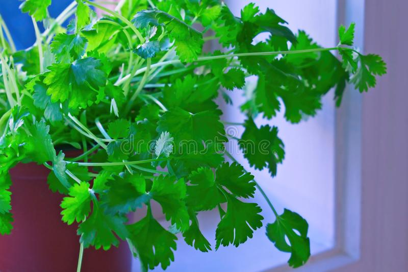 Fresh coriander in a pot stock image