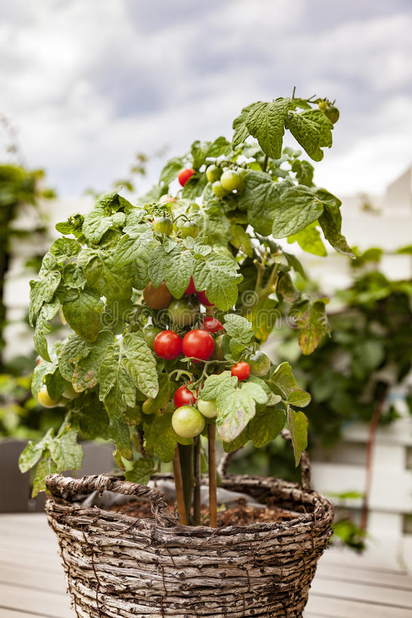 Potted garden tomato plant. Image of potted garden tomato plant royalty free stock images