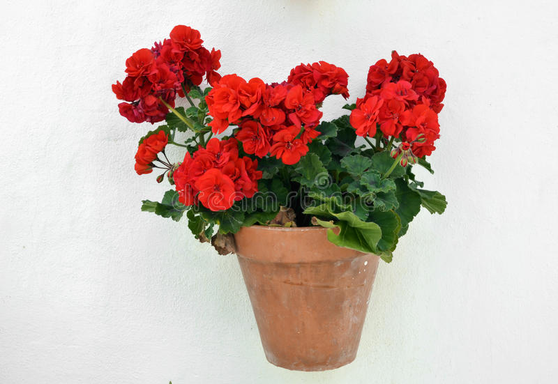 A potted geranium royalty free stock image
