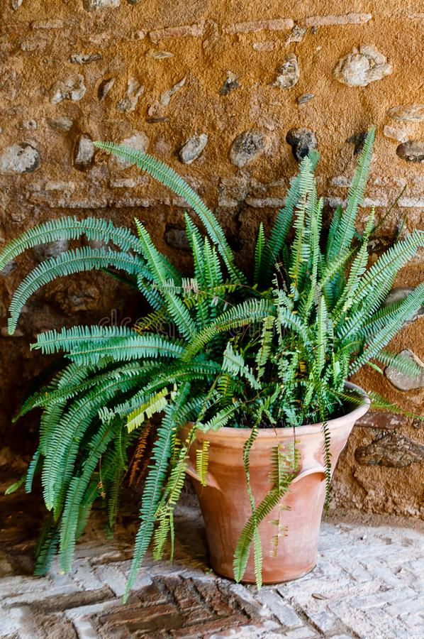 Potted green plant - Old World Forkedfern Dicranopteris linearis at ancient wall in a beautiful small courtyard of Alhambra, Gra. Potted green plant - Old World royalty free stock image